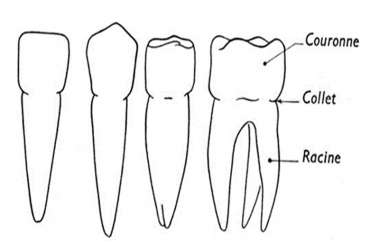 Couronne dentaire naturelle